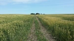 A field of Gluten!